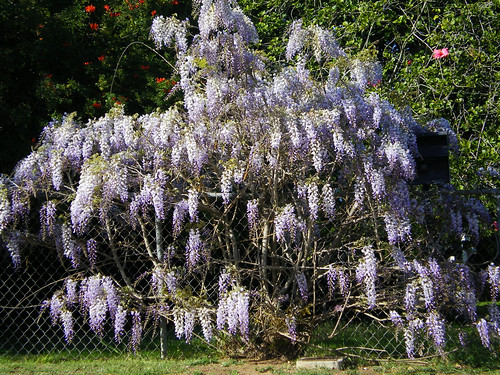 Glorious Wisteria