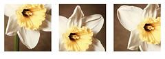 daffodil triptych (shannon~marie) Tags: sepia series trio daffodils subtle hintofcolor digitalarteffects