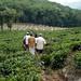 Trekking through the tea plantations