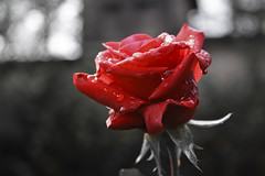 RED (mmatasic) Tags: flowers red plant flower home rose droplets drops flora profile rosa drop dew droplet doma cvijet cvijee kapljice crveno biljka rua aplusphoto kaplje