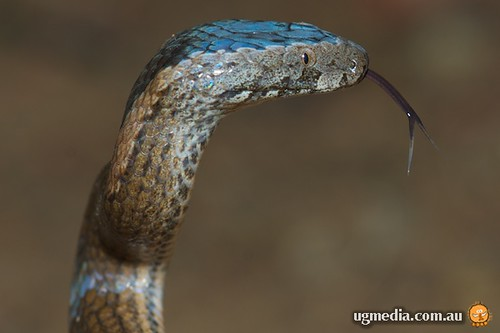 Golden-crowned snake (Cacophis squamulosus)