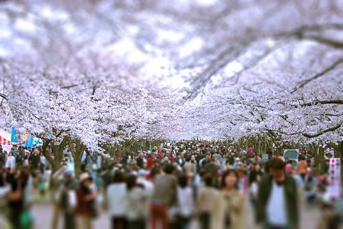 13557 : Sakura2009 #27 -We love cherry blossom!-