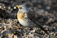 Be Proud Of Yourself (Z!KeepeR) Tags: bird proud ground poseur turdus fieldfare passeriformes turdidae pilaris muscicapidae