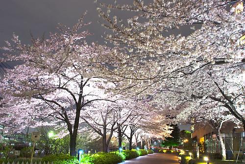 Sakura 2009 (by HAMACHI!)