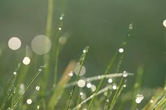 [フリー画像] [植物] [雫/水滴]         [フリー素材]