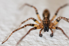 Try seeing it from your point of view (jonmartin ()) Tags: macro spider dof bokeh arachnid shallow arthropod edderkopp sigma150mmf28exdghsmmacro