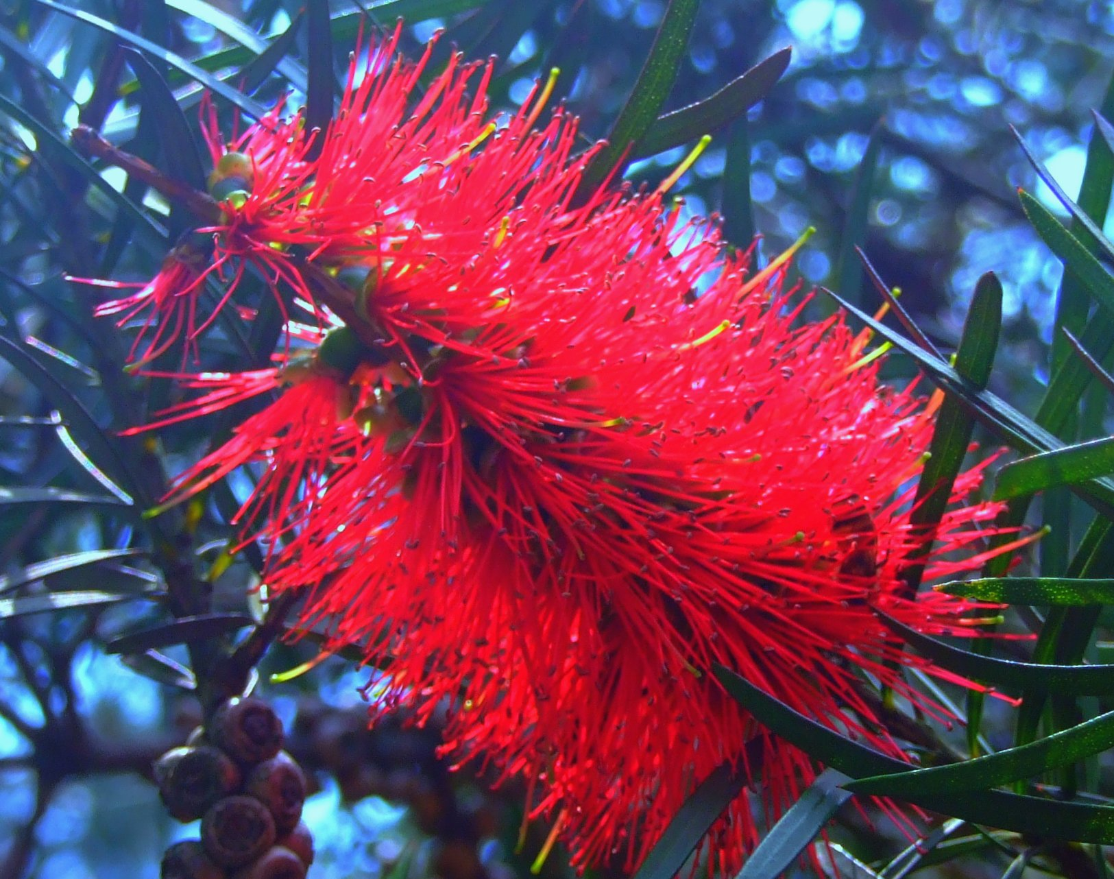 Image of Callistemon rigidus