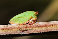 Green leaf hopper (kasia-aus) Tags: green nature animal insect australia canberra 2009 hopper act leafhopper treehopper hemiptera virescens membracidae sextius