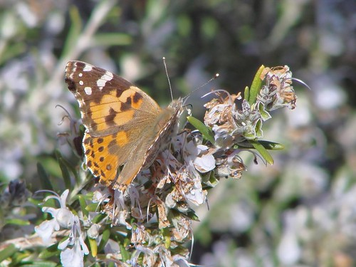 """painted lady • <a style=""""font-size:0.8em;"""" href=""""http://www.flickr.com/photos/10528393@N00/3456158822/"""" target=""""_blank"""">View on Flickr</a>"""