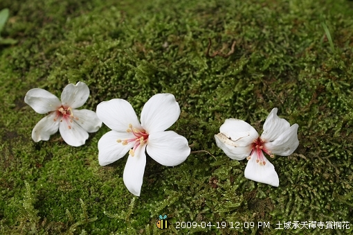 09.04.19 一探土城承天寺桐花花況