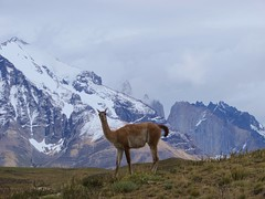 Guanaco en Torres del Paine (srtaconbici) Tags: blue patagonia naturaleza nature animal fauna landscape mammal nationalpark cloudy wildlife paisaje torresdelpaine frio chilena parquenacional guanaco faunachilena camelid camelido camlido lamaguanincoe chileancamelid