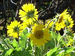 Arrowleaf Balsamroot (rooftop65) Tags: flowers oregon spring wildflowers balsamorhizasagittata arrowleafbalsamroot tommccallpreserve