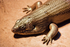 _MG_2494 (bentpixels) Tags: texture nature beautiful beauty sunshine animals fauna danger eyes sand shiny skin reptile wildlife australia scales queensland environment sanctuary claws nostrils leathery reptilian scaly