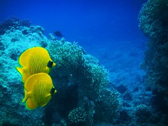 (Ghadeer Q) Tags: blue fish yellow underwater pair sony redsea group egypt sharmelsheikh middleeast couples diving snorkling mates soulmates butterflyfish maskedbutterflyfish   sonydsct300 ghadeerq