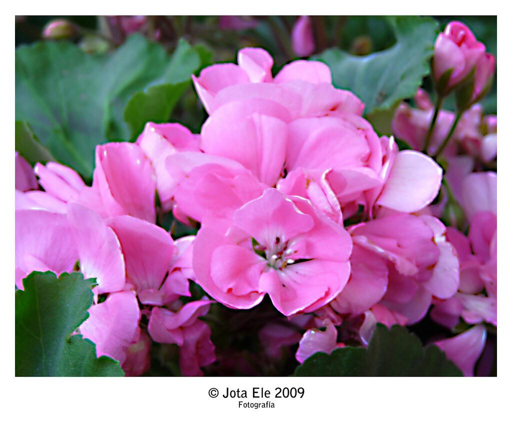 Sinfonía en rosa