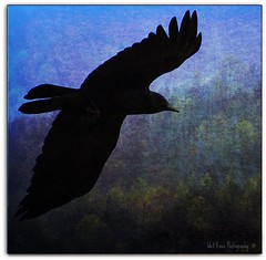 """As the Crow Flies"" (Tracey Tilson Photography) Tags: blue black mountains texture fly flying nc spring wings nikon north flight carolina layer crow monday picnik d90 storybookwinner"