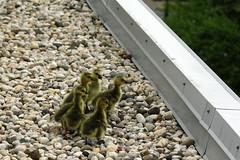IMG_5747b (Skokie Public Library) Tags: geese goose greenroof skokiepubliclibrary