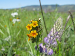 mystery wildflower and lupines (LaughingStarfish/dstroy) Tags: nature oregon hike gorge wildflowers hoodriver columbiarivergorge balsamroot tommccallpreserve