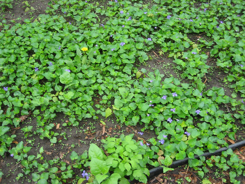 This is a wee part of the front yard.  Violets everywhere.