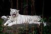 IMG_1305 (Marc Aurel) Tags: zoo singapore tiger tigre singapur whitetiger zoologischergarten singaporezoo bengaltiger pantheratigris zoologicalgarden königstiger pantheratigristigris royalbengaltiger pantheratigrisbengalensis weisertiger 5dmarkii eos5dmarkii indischertiger tigrebiancha