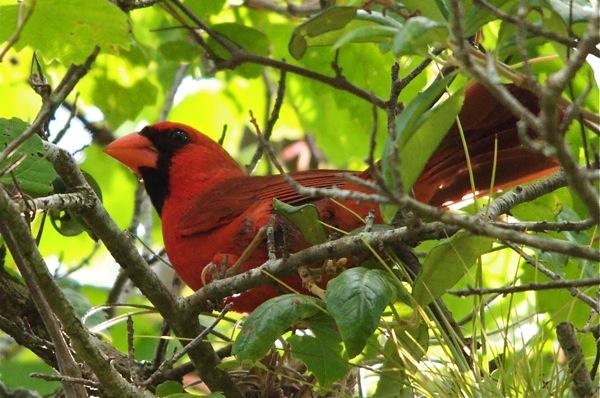 cardinal_above_0053