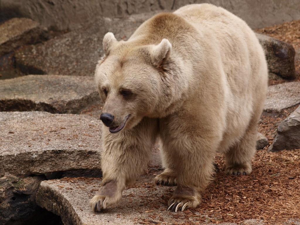 نتيجة بحث الصور عن الدب البني السوري المنقرض