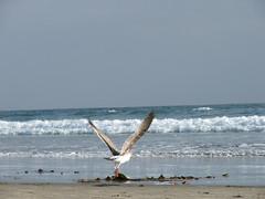 Seagull Taking Flight on the Beach