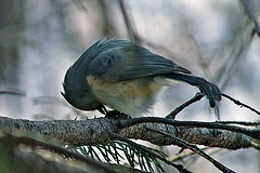 Titmouse on Branch (puttle712) Tags: tuftedtitmouse greatswampnwr