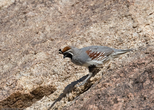 Gambel's Quail by you.
