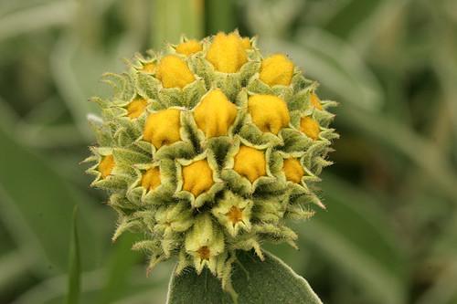 Phlomis fruticosa bud