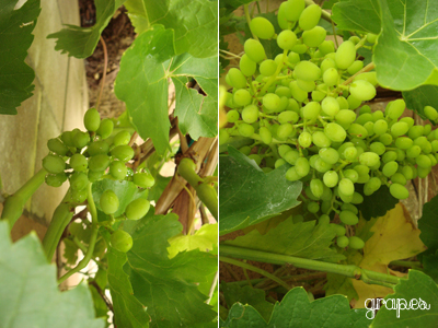 my grapes are growing
