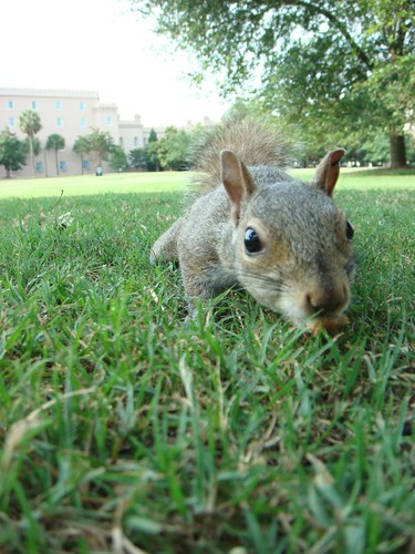 Squirrel in Marion Square, Charleston, South Carolina.