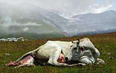 una nuova vita (sermatimati) Tags: nascita abruzzo gransasso parconazionale nuovavita animalibradi montestabiata