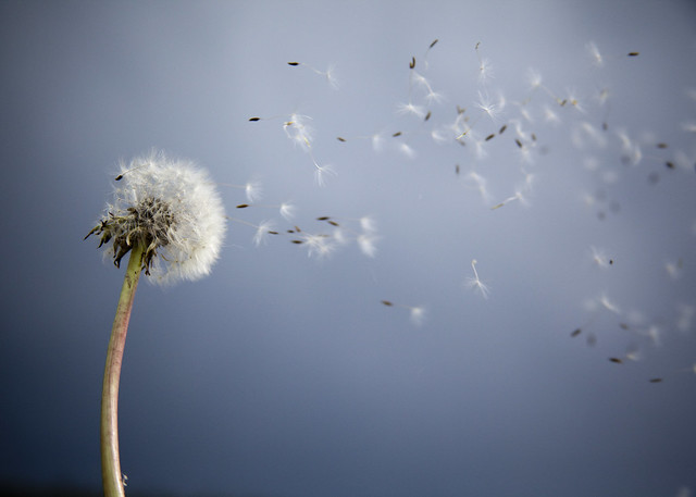 beautiful pictures of dandelion flowers