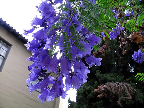 Jacaranda, Up Close & Personal.......IMG_7819_f