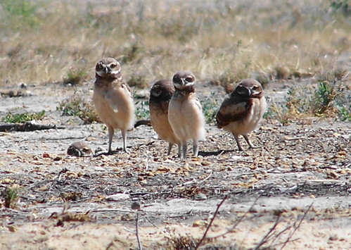 burrowing owls2