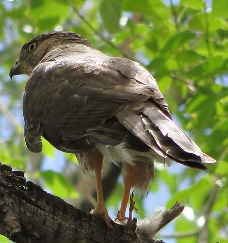 "altura park cooper's hawk • <a style=""font-size:0.8em;"" href=""http://www.flickr.com/photos/10528393@N00/3676807534/"" target=""_blank"">View on Flickr</a>"