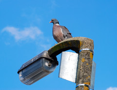 Fairly High in the Pecking Order! (antonychammond) Tags: blue sky pigeon lamppost birdwatcher abigfave anawesomeshot firsttheearth concordians fabbow