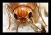 "CARA DE GRILLO (DIAZ-GALIANO) Tags: españa macro canon bug spain eyes super cricket ojos 1001nights 30d insecto grillo greatphotographers supershot bej specanimal abigfave worldbest goldstaraward rubyphotographer diazgaliano ""flickraward"" coth5 1001nightsmagiccity"