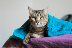 Hello !... (Abdullah Al-Gazlan) Tags: pet cats pets cute cat wow kitten university florida gainesville gators kittens angry friendly mad kawai gogators