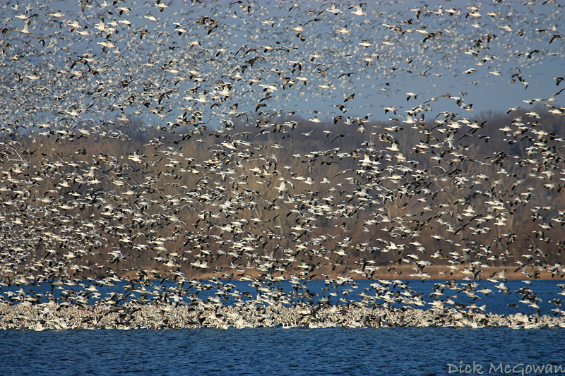 Squaw Creek Snow Geese