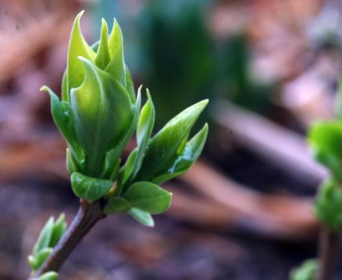 Lilac Bud 3-09