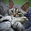 Nom Nom Nom... (kotobuki711) Tags: cute green yellow female cat silver square fur bed eyes kitten feline tabby adorable kitty tasty ears whiskers grooming mmm nibbling devonshire devonrex kiku nom nomnom