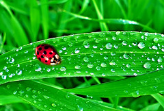 my green world (Mouin.M(away)) Tags: world plants macro green nature water leaves rain photo droplets drops amazing colorful eau group vert ladybug transparent feuille coccinelle the colorphotoaward