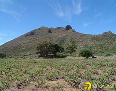 Cultivo vid Santiago del Teide