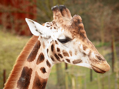 Rothschild-Giraffe / Rothschild Giraffe (Giraffa camelopardalis rothschildi) (Sexecutioner) Tags: portrait nature animal animals digital canon germany deutschland zoo tiere colorful zoom wildlife natur giraffe gelsenkirchen 2009 nordrheinwestfalen tier rothschildsgiraffe giraffacamelopardalisrothschildi baringogiraffe zoomerlebniswelt rothschildgiraffe ugandagiraffe zoogelsenkirchen ugandangiraffe copyrightsexecutioner giraffadirothschild giraffadibaringo giraffaugandese