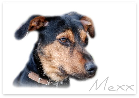 dog hond mexx doornakker terriemix