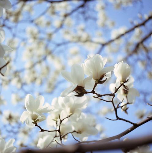 Magnolia**