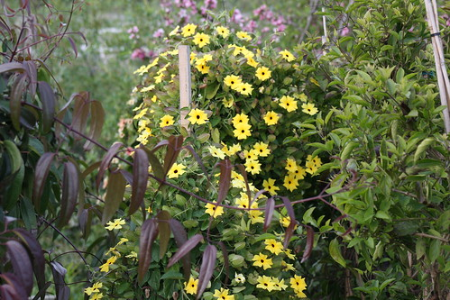 black eyed susan vine in yellow