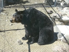 Animal Ark, Reno - Black Bear